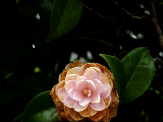 a-pink-flower-with-brown-dress.png
