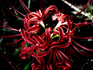 deep-red-red-spider-lily-by-Raburadohl.png